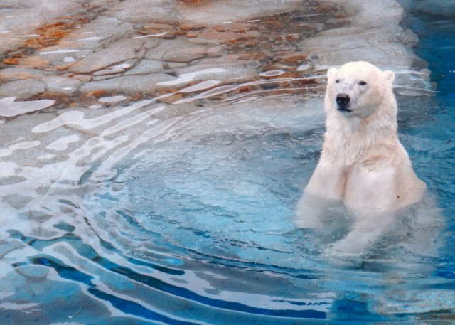 stock-photo-animal-nature-water-blue-animals-white-bear-00d6a71a-d111-4373-9601-c03b5be7eda9